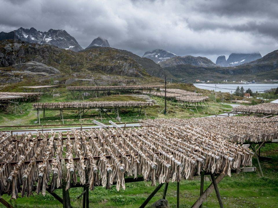 lofoty norwegia dorsz