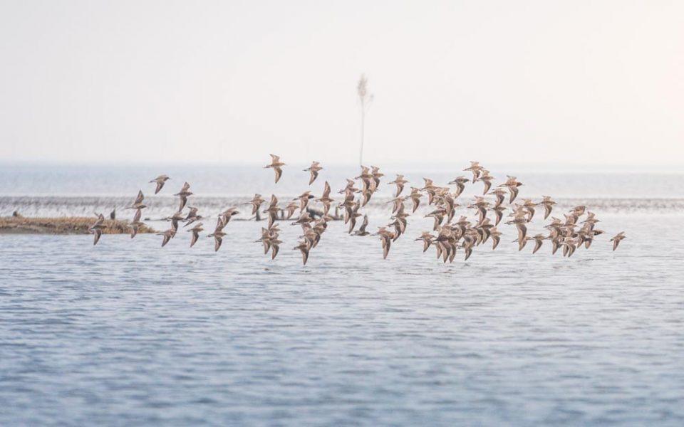 stada ptaków nad morzem wattowym