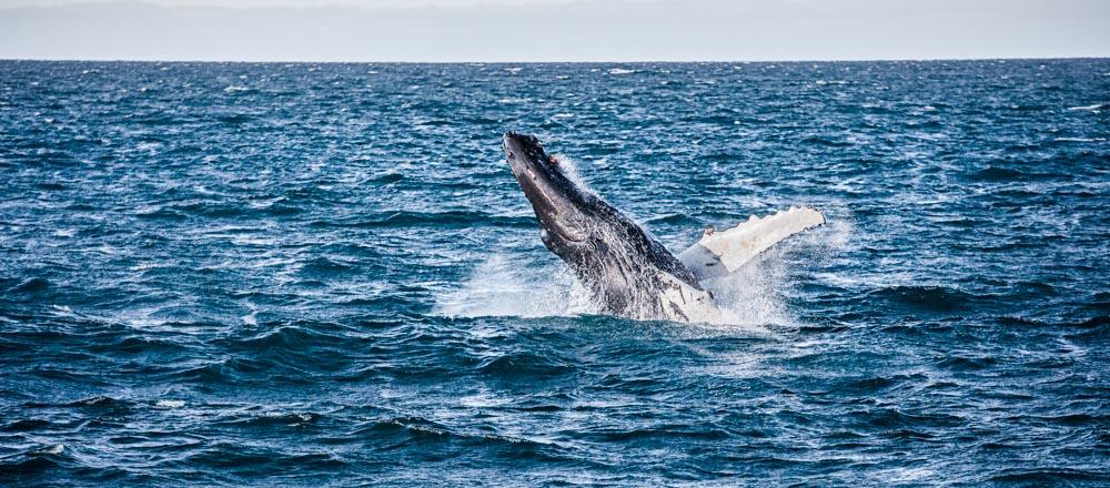 Islandia - wieloryb