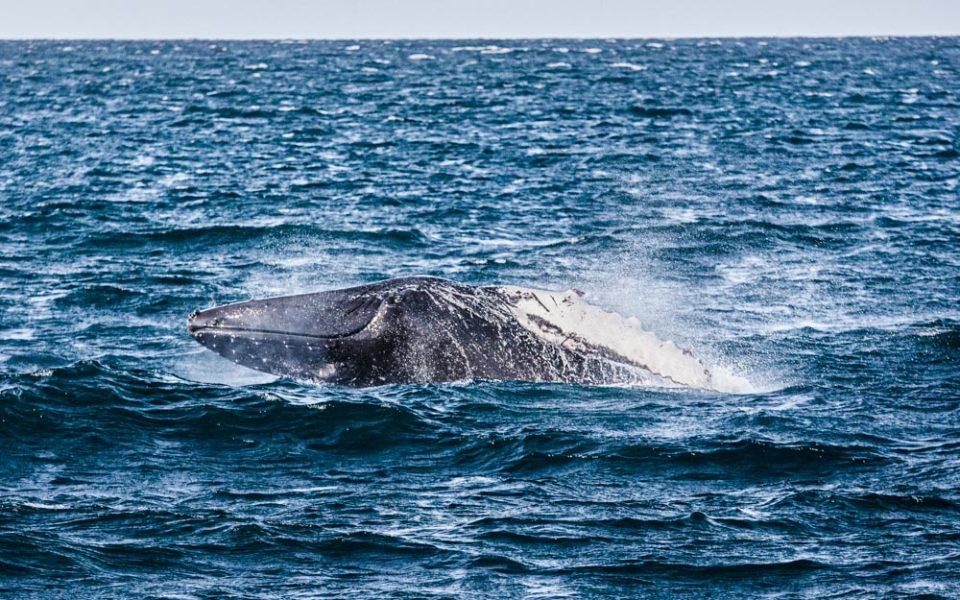 Wieloryb na Islandii