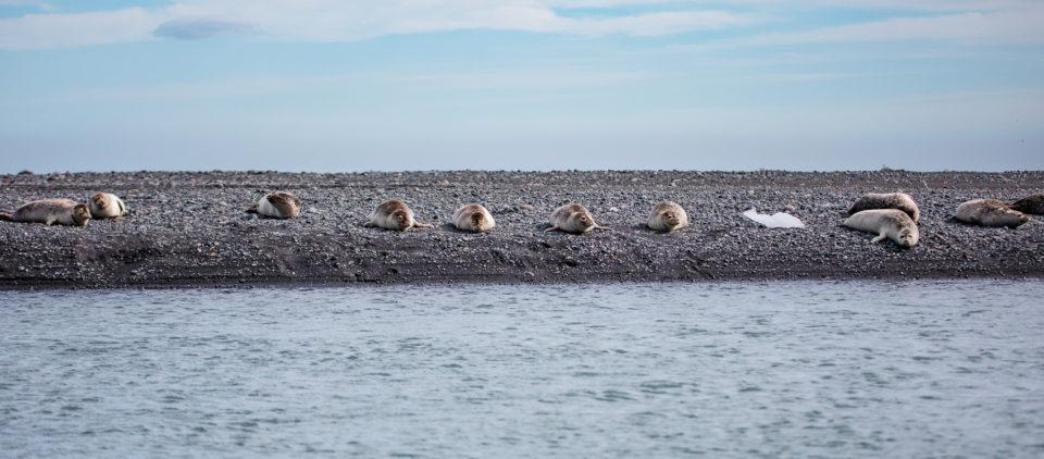 południe Islandii - Diamentowa plaża z fokami w roli diamentów, bryłki lodu niestety w tym roku nie były zbyt liczne