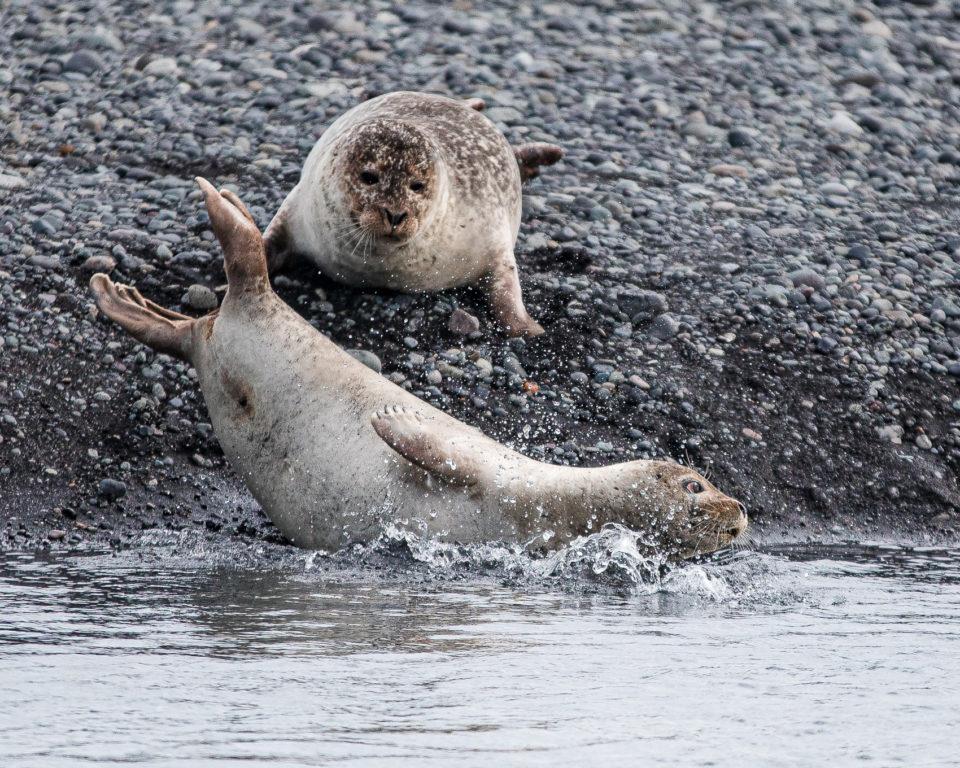 południe Islandii - awantura między fokami