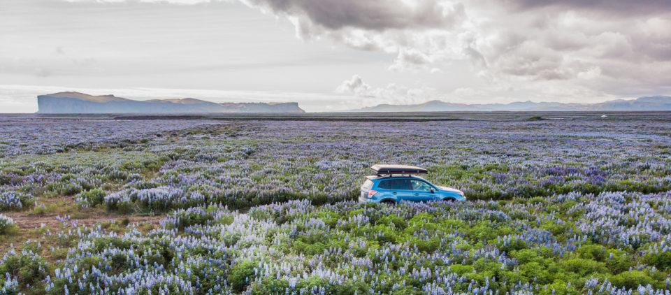 południe Islandii - plaże porośnięte łubinem