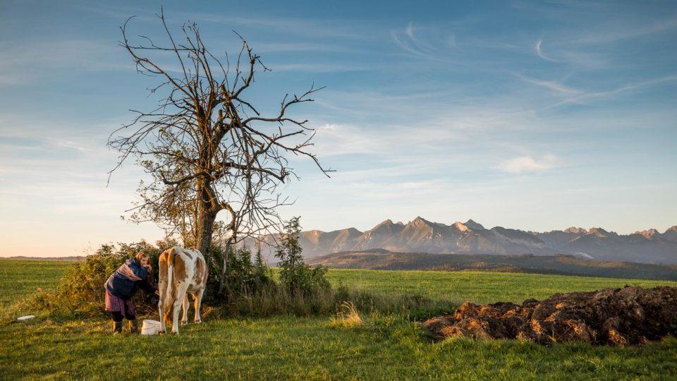 Spisz. Pastwisko dla krów, które mają jeden z najpiękniejszych widoków na Tatry